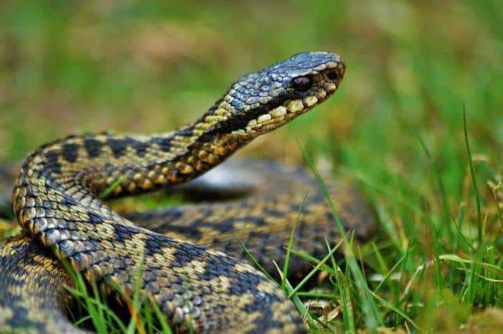 В Подмосковном Минздраве напомнили о первой помощи при укусе змеи