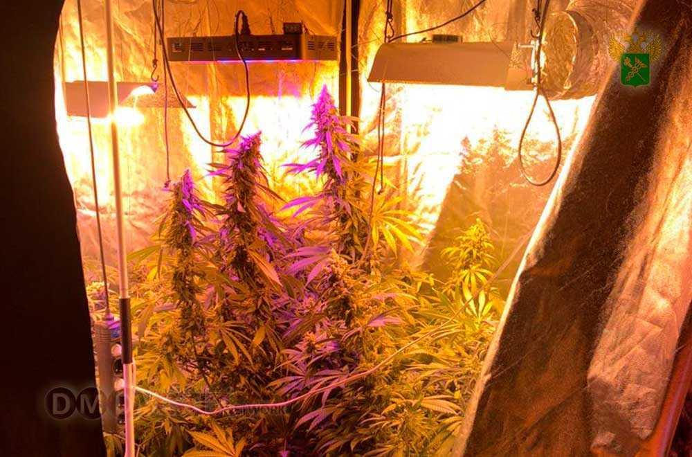 Домодедовские таможенники ферму для выращивания марихуаны новости домодедово